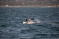 Gray Whales, Long Beach CA 10