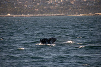 Gray Whales, Long Beach CA 12
