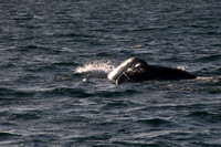 Gray Whales, Long Beach CA 16