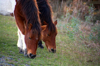 the horses of Assateague 30