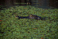 Alligator, Honey Island Swamp LA 3