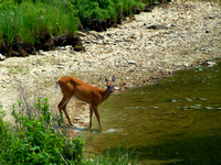 deer out for a drink