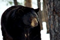 black bear on the move - 3
