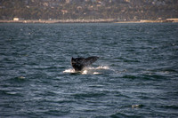 Gray Whales, Long Beach CA 11